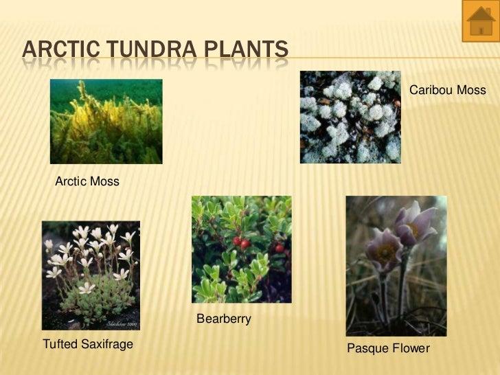 Tundra Biome Facts  Soft Schools Tundra