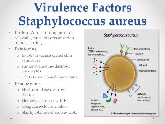 streptococcus pneumoniae essay