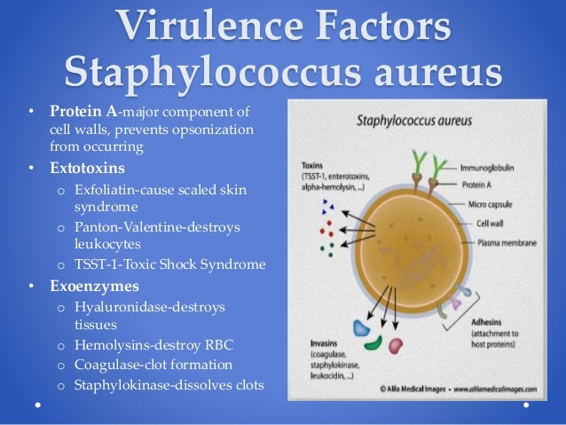 the virulence factors of staphylococcus aureus Prevalence of virulence factor genes in staphylococcus aureus isolated from infected skin lesions as determined by real-time polymerase chain reaction analysis for 61 total bacterial isolates and divided into 44 isolates associated with low white blood cell (wbc) count and 17 isolates associated with high wbc count on initial culture.