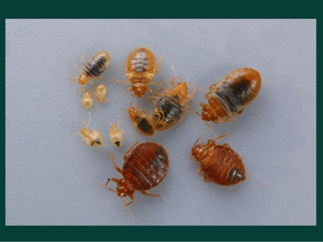 Bed Bug Pictures Size