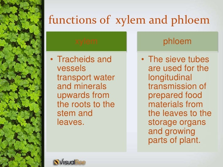importance of xylem and phloem tissues Xylem tissue in plants transports water and mineral salts from the roots up to the leaves it also provides strength to the plants thanks to a woody.