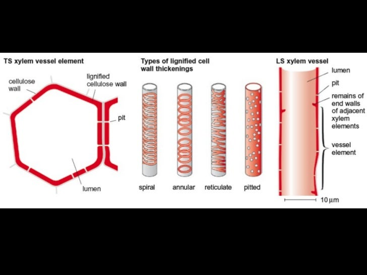 xylem bio Xylem is a type of tissue in vascular plants that transports water and some nutrients from the roots to the related biology terms phloem - vascular tissue in plants that transports nutrients like sucrose.