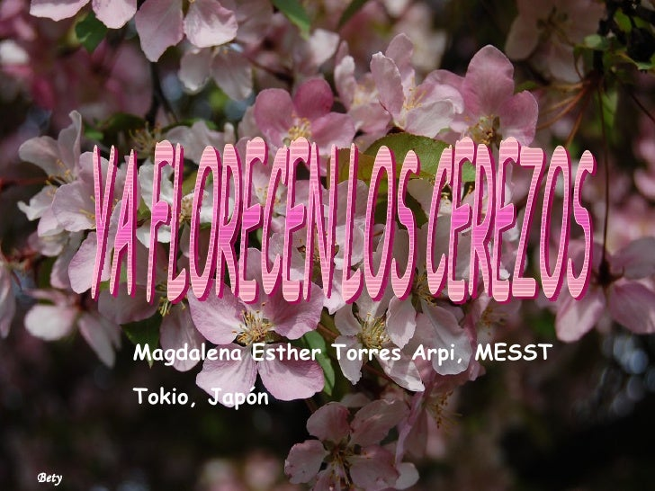 YA FLORECEN LOS CEREZOS Magdalena Esther Torres Arpi, MESST Tokio, Japón Bety