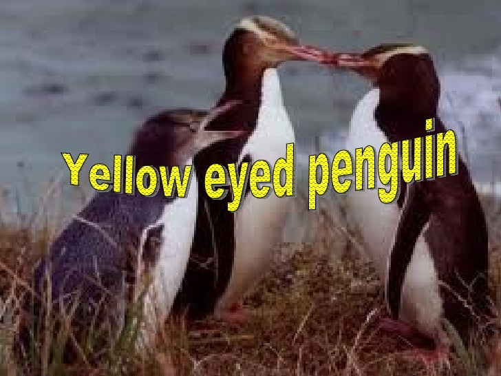 Yellow eyed penguin by Lucy