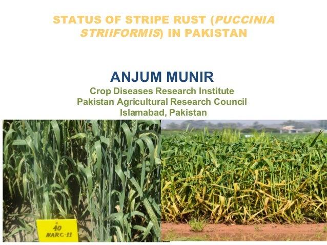 STATUS OF STRIPE RUST (PUCCINIA STRIIFORMIS) IN PAKISTAN ANJUM MUNIR Crop Diseases Research Institute Pakistan Agricultura...