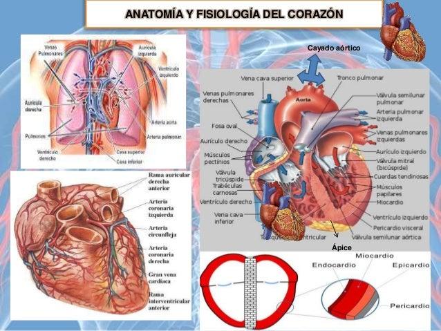 Tema 8 El sistema cardiovascular - Anatomía Aplicada 1º Bachillerato