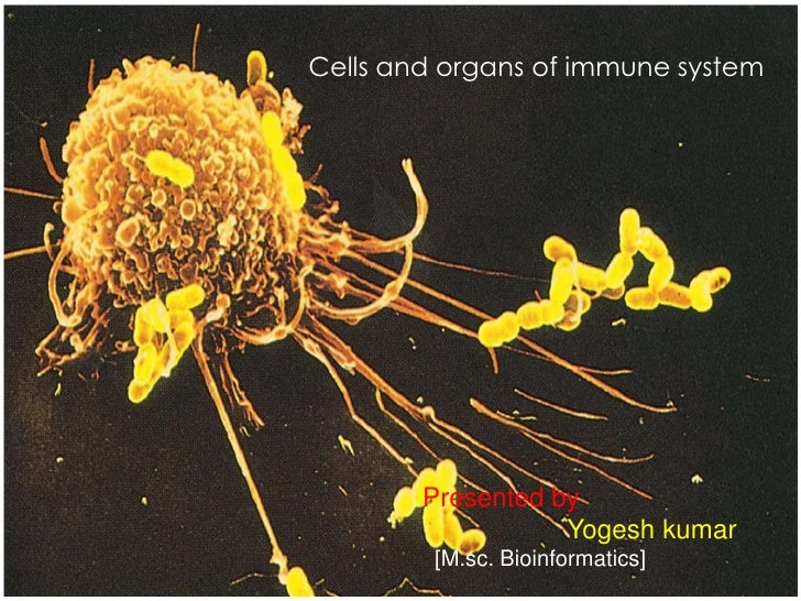 Cells and organs of immune system Cells and organs of immune system         Presented by                    Yogesh kumar  ...