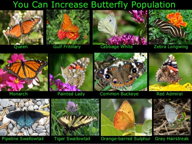 You Can Increase Butterfly Population     Queen             Gulf Fritillary     Cabbage White           Zebra Longwing   M...
