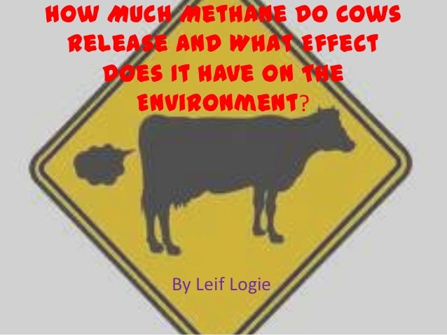 How Much Methane Do Cows Release And What Effect   Does It Have On The      Environment?        By Leif Logie