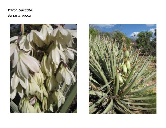 Yucca baccata   web show