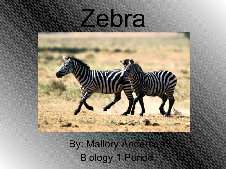 Zebra By: Mallory Anderson Biology 1 Period http://www.rexwallpapers.com/images/wallpapers/animals/zebra/zebra_1.jpg