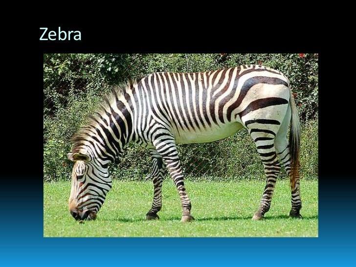 Zebra<br />