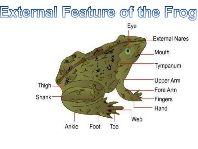 buccal cavity of a frog T he buccal cavity begins the digestion process by chewing the foodinto small portions and m  the buccal cavity of frog is the mouth of the frog share to.