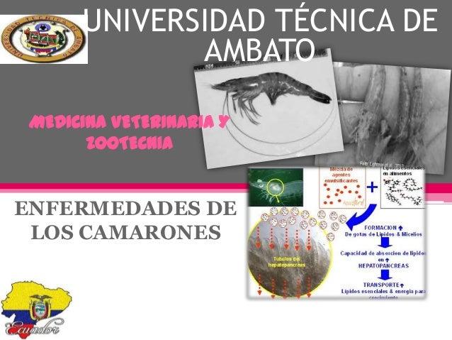 UNIVERSIDAD TÉCNICA DE AMBATO MEDICINA VETERINARIA Y ZOOTECNIA  ENFERMEDADES DE LOS CAMARONES