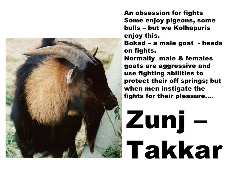 An obsession for fights Some enjoy pigeons, some bulls – but we Kolhapuris enjoy this. Bokad – a male goat  - heads on fig...