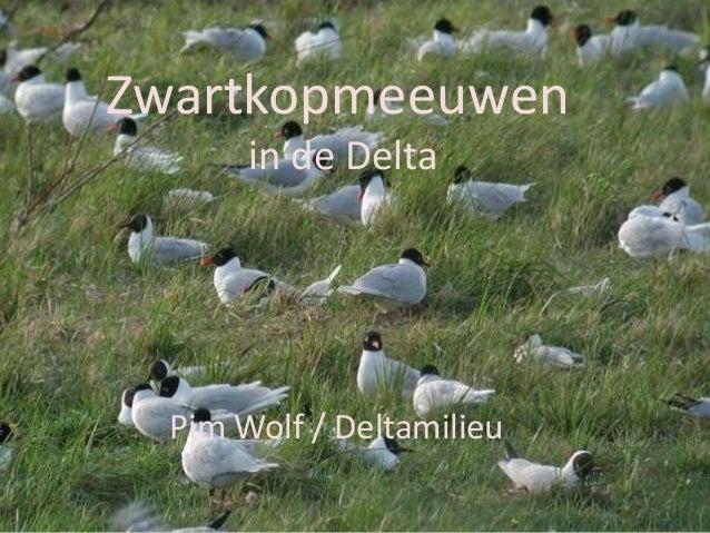 Zwartkopmeeuwen in de Delta - Pim Wolf