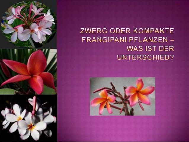  Plumeria Gärtner weltweit, speziell in gemäßigten Klimazonen, sind oft auf der Suche nach Zwerg oder kompakten Frangipan...