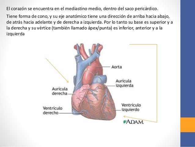 Anatomía del corazón y mediastino.