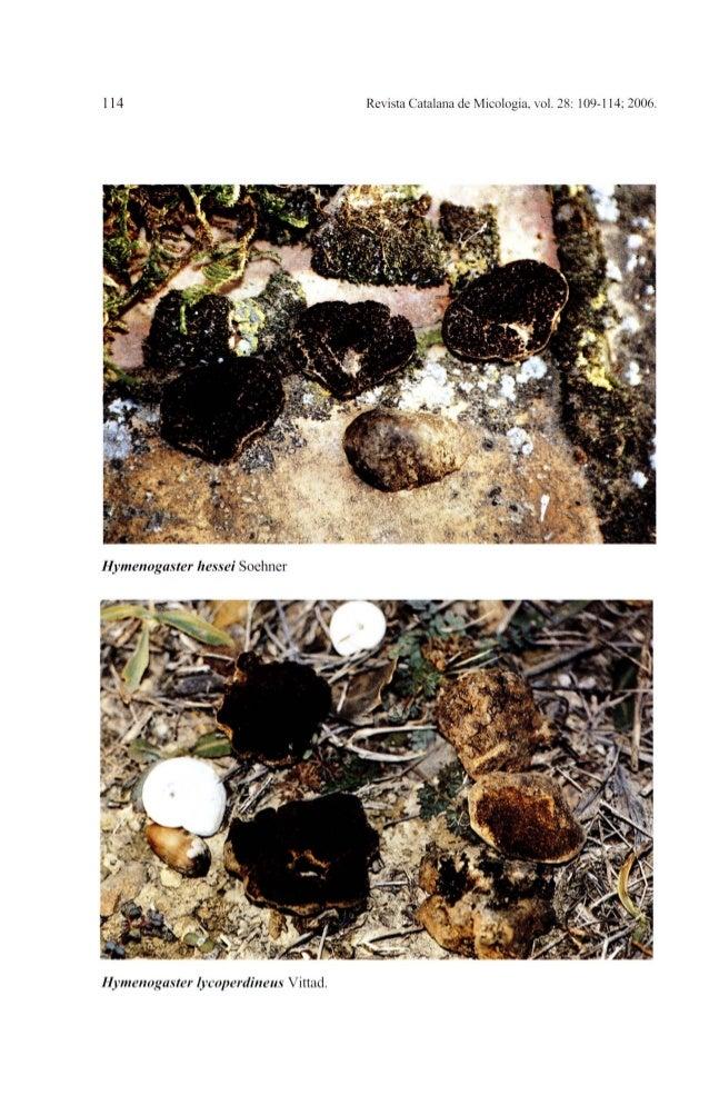 114 Revista Catalana de Micologia, vol. 28: 109-114; 2006.Hymenogaster hessei SoehnerHymenogaster lycoperdineus Vittad.