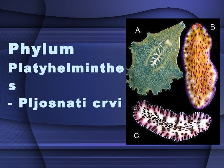 Phylum  Platyhelminthes  - Pljosnati crvi