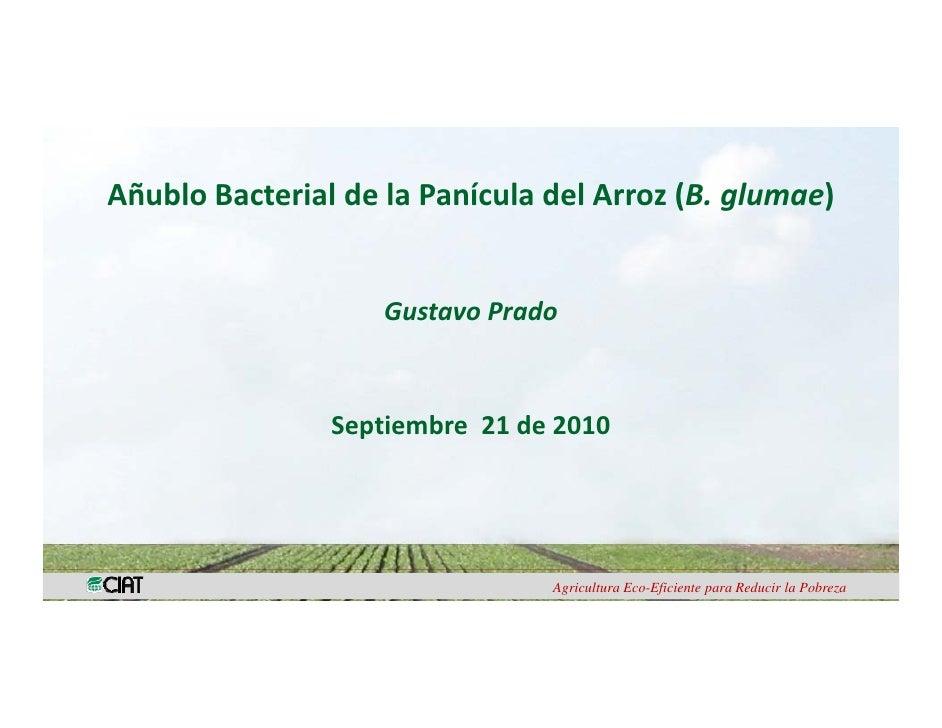 AñubloBacterial delaPanículadelArroz(B.glumae)                                           ( g       )               ...