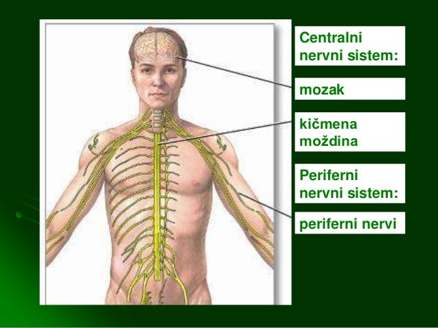 Centralni nervni sistem Slide 3
