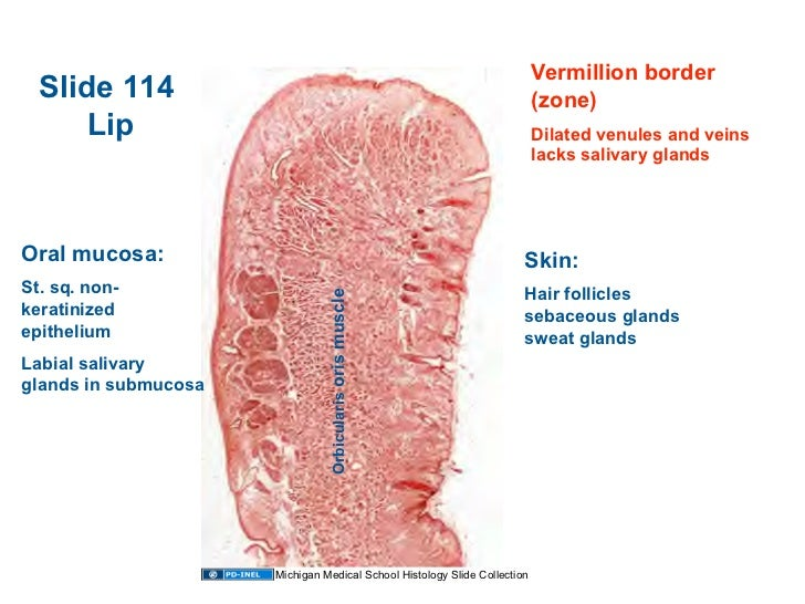9946505 besides 9744490 together with 771653 further 010509 Histology Oral Cavity And Salivary Glands additionally Embryology. on dorsal and ventral cavity