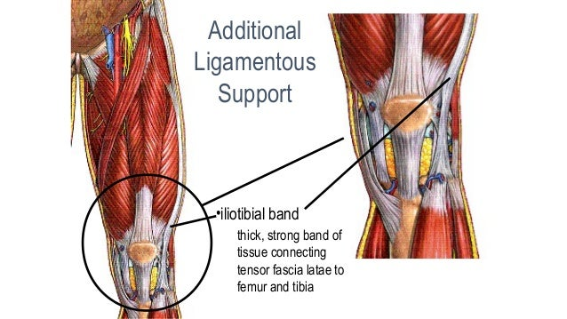01 knee anatomy knee collateralcollateral ligamentsligaments 10 ccuart Image collections