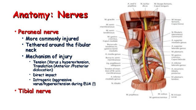 01. knee anatomy