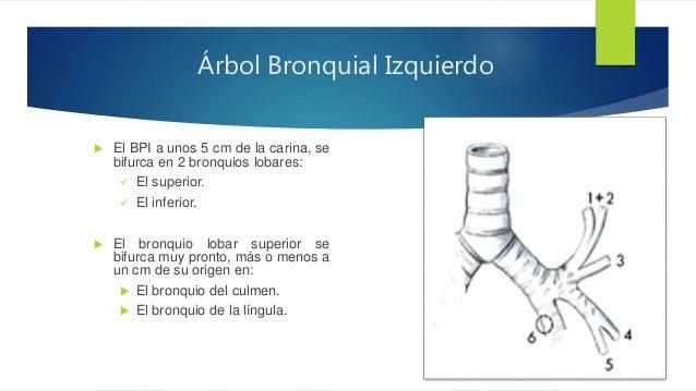 Fibrobroncoscopia estructura y función de las vías aéreas inferiores