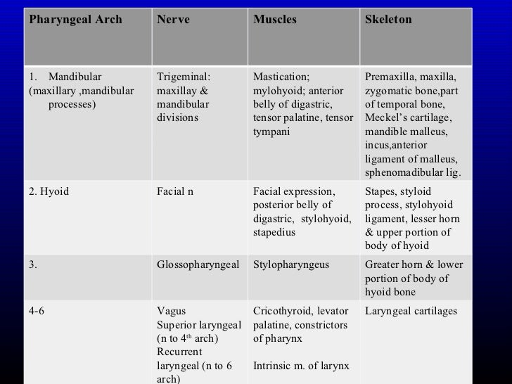 Zygomatic Bone Maxillary Process Development of the Fac...