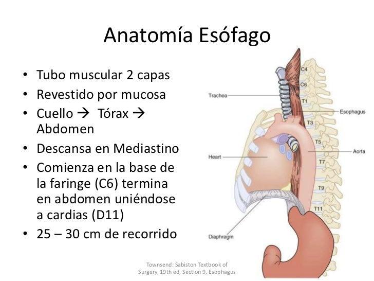 Esofago, Embriologia, Anatomía y Fisiología