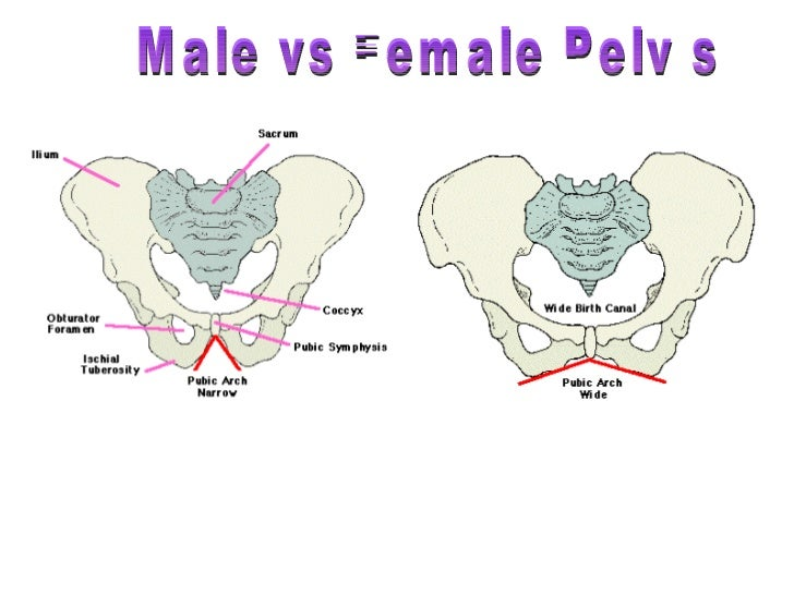 Image result for pelvis male vs female