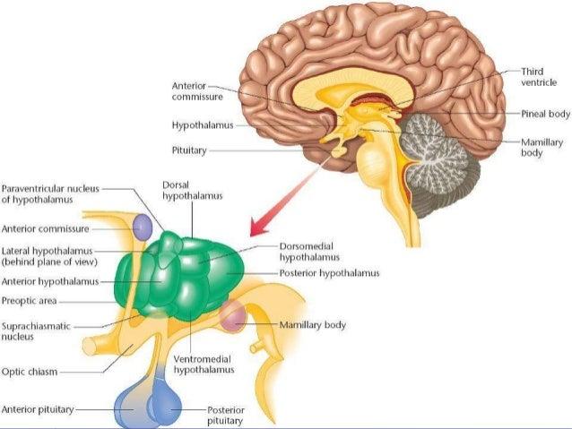 """Kontrola """"biološkog časovnika""""  Prednji deo hipotalamusa (iznad optičke hijazme)  Cirkadijalni ritmovi su sinhronizovani..."""