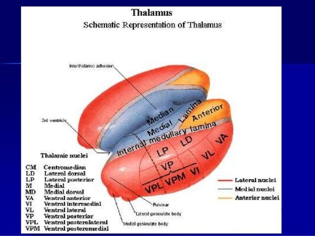 Motorne uloge talamusa  Talamus ima dvosmerene veze sa motornom korom velikog mozga od koje polaze komande za mišićnu akt...