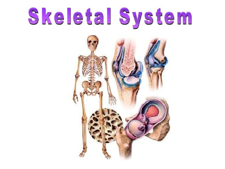 human skeletal system - movement and locomotion, Skeleton