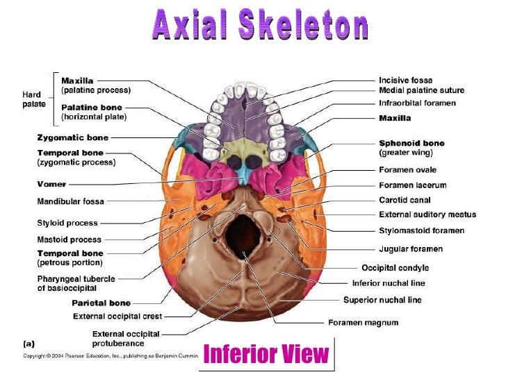 Human skeleton essay – Axial Skeleton Worksheet Answers