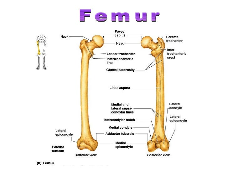 Human skeletal system - Movement and Locomotion