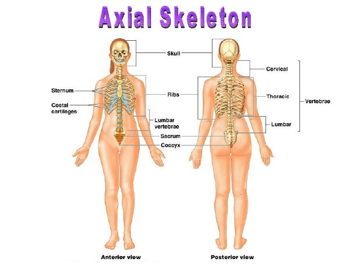 human skeletal system - movement and locomotion, Human Body
