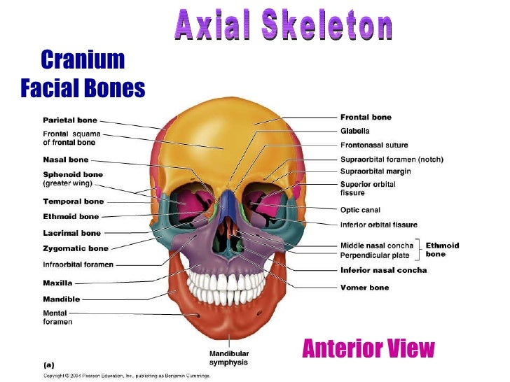 Facial Skeletal System Diagram - DIY Wiring Diagrams •