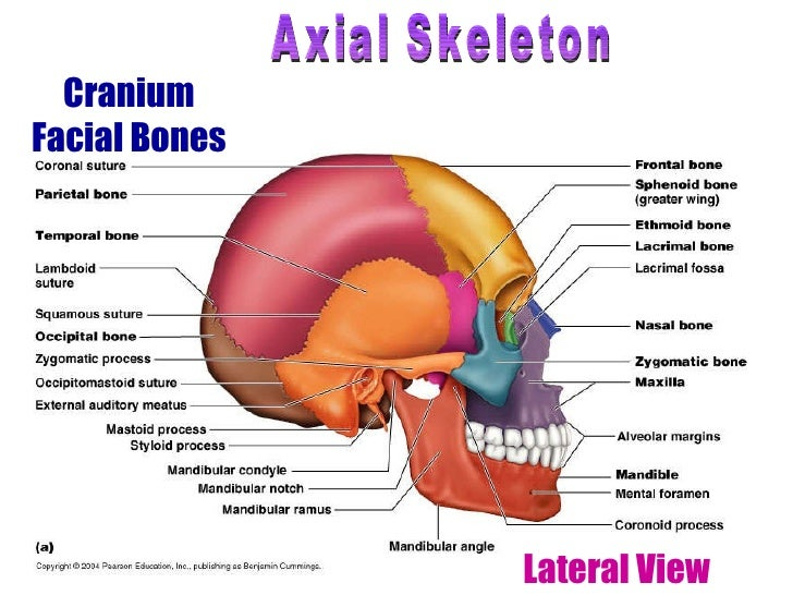 Human skeletal system Movement and Locomotion – Axial Skeleton Worksheet