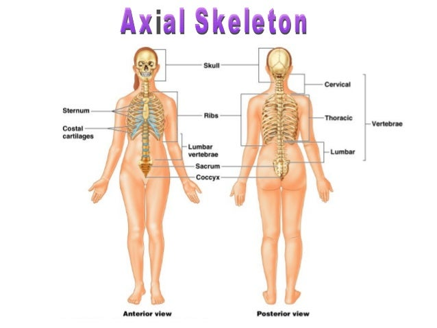 human skeleton and locomotion, Skeleton