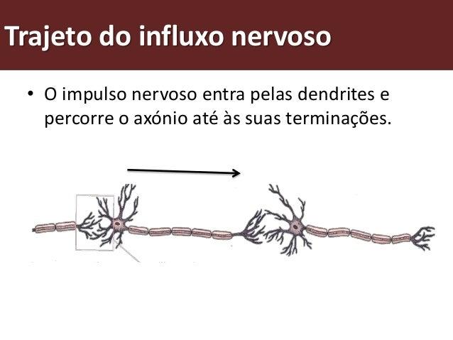 Trajeto do influxo nervoso • As zonas de contacto que um neurónio   estabelece com outro ou com uma célula   muscular desi...