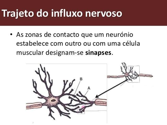 Trajeto do influxo nervoso • Os neurotransmissores são moléculas que   permitem a passagem do impulso nervoso nas   sinaps...