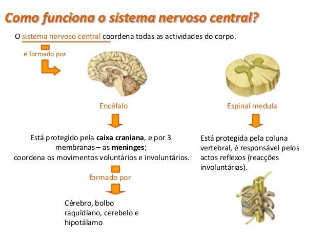 Sistema Nervoso Central                                         Cérebro                                                   ...