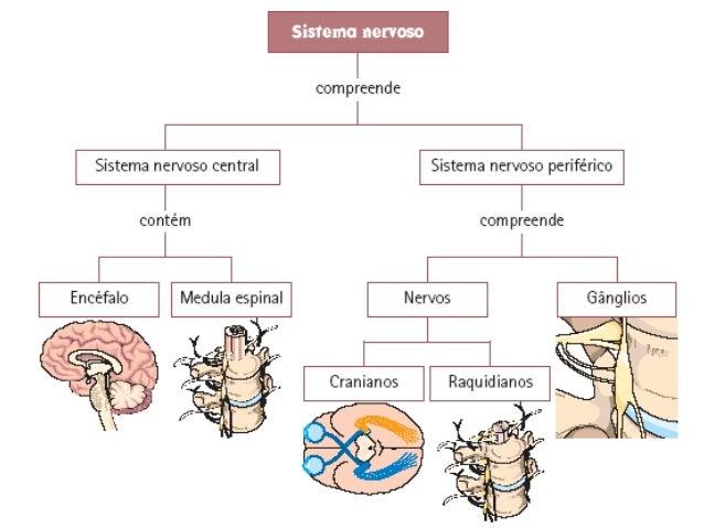 O sistema nervoso é constituídoessencialmente por NEURÓNIOS