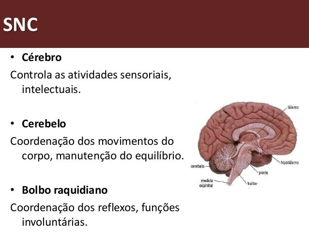 Como funciona o sistema nervoso central?                                                               Córtex cerebral    ...