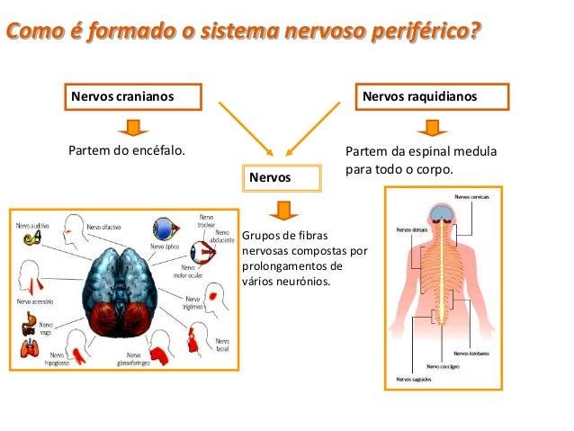 Sistema Nervoso Periférico • O Sistema Nervoso Periférico (SNP) é   constituído pelos:   –Sistema Nervoso Autónomo   –Sist...