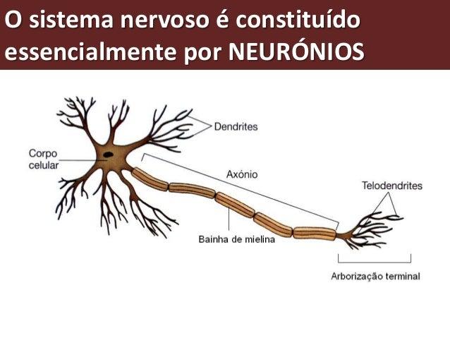 O funcionamento do sistema nervoso  O funcionamento do sistema  nervoso depende da  circulação das mensagens  numa rede co...