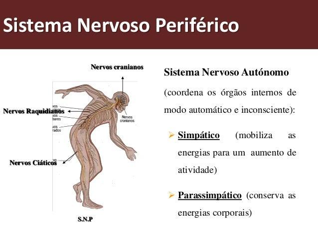 Sistema Nervoso Somático(coordena funções que nos relacionam com o meio externo - movimentosvoluntários):Nervos do sistem...